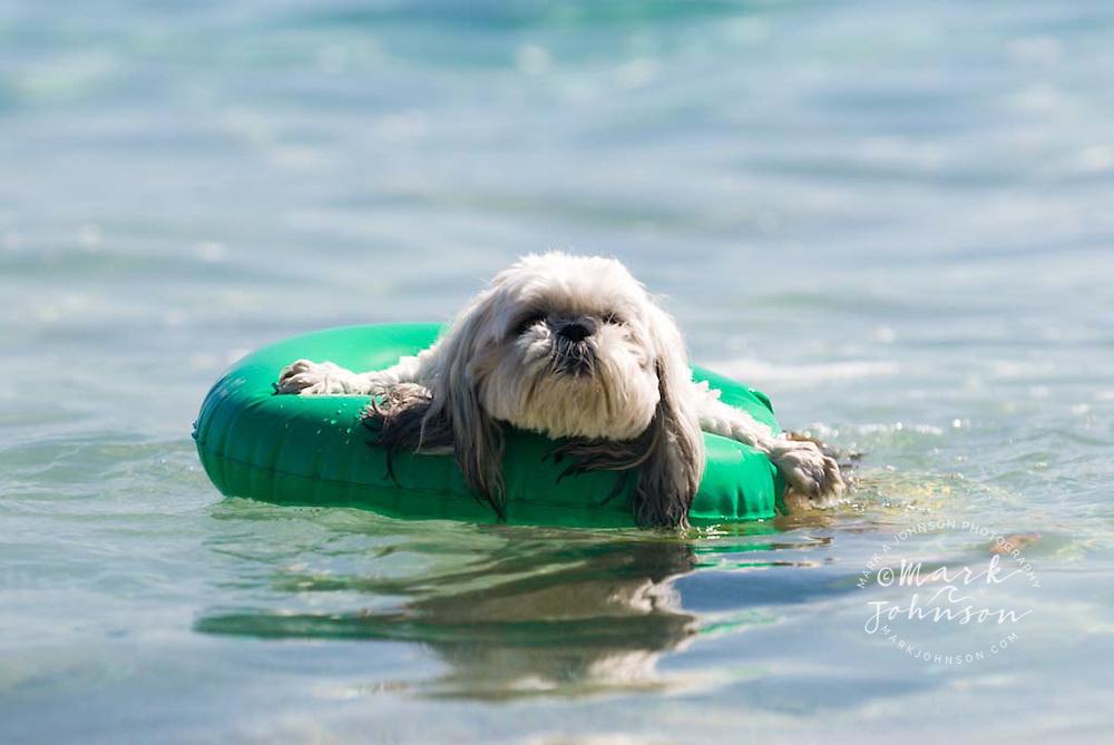 Shi-tzu dog in floaty ring, Baja California Sur, Mexico