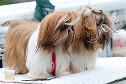 © Licensed to London News Pictures. 19/08/2018. Llanelwedd, Powys, UK. Two shih tzu look windswept in the judging area on the last day of The Welsh Kennel Club Dog Show, held at the Royal Welsh Showground, Llanelwedd in Powys, Wales, UK. Photo credit: Graham M. Lawrence/LNP