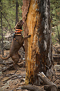CJ, a chocolate lab working as a trained wildlife detector dog, using his nose to find bat roosting sites in an old ponderosa snag. Coconino National Forest, Arizona.