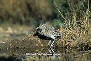 01107-00207 Greater Roadrunner (Geococcyx californianus)  at water Starr Co. TX