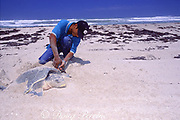 biologist attaches metal tag to flipper of nesting Kemp's ridley sea turtle, Lepidochelys kempii, ( critically endangered species ), Rancho Nuevo, Mexico ( Gulf of Mexico / Western Atlantic Ocean )