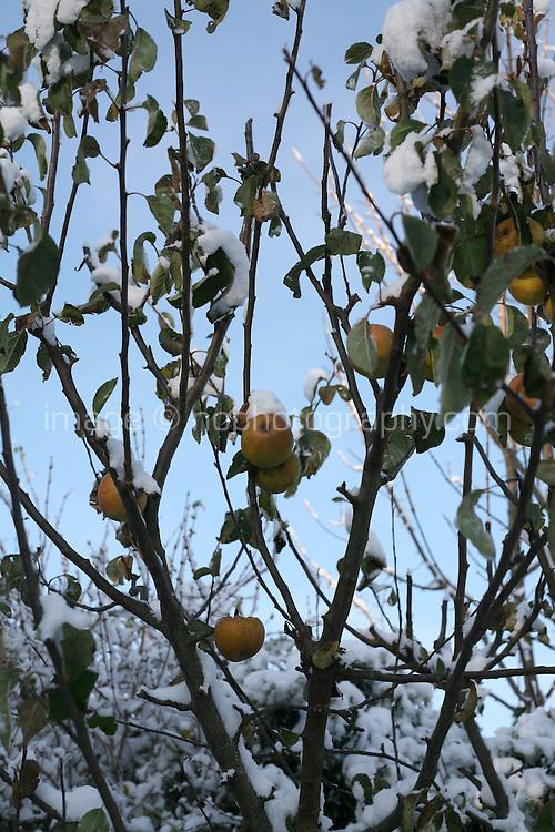 Snow covered apple tree in Dublin Ireland November 2010