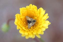 Desert Dandelion With Moth