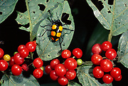 Leaf Beetle and Berries<br />Chrysomelidae<br />Amazon Rain forest,  Manu National Park.  PERU.  <br />South America
