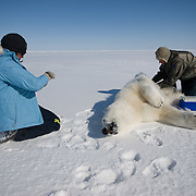 Dr. Steve Amstrup, USGS biologist and assistant, Karyn Rode, preparing to collect data from a small, female, polar bear. Beaufort Sea ice pack.