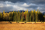Horses near Holland Lake, Montana