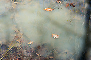 Mosquito larvae in an ephemeral woodland pool, Acadia National Park, Bar Harbor, Maine