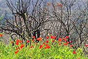 Israel, Carmel forest, the forest is regrowing after the fire devastation. An ongoing argument between two schools of thought has caused this forest to become a major experiment where one part of the forest was replanted while the other part was left to he natural process