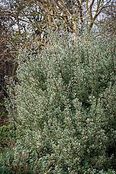 Rhamnus alaternus 'Argenteovariegata' syn. Rhamnus alaternus 'Variegata' AGM. Italian buckthorn.
