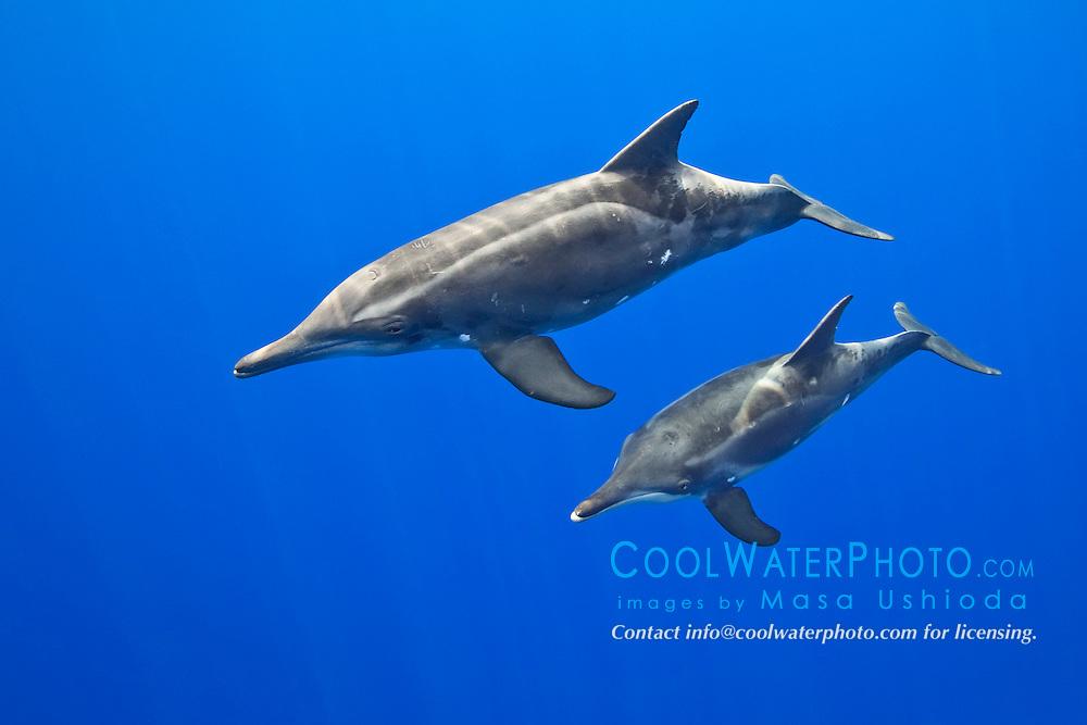 rough-toothed dolphins, Steno bredanensis, mother and calf, Kona Coast, Big Island, Hawaii, USA, Pacific Ocean