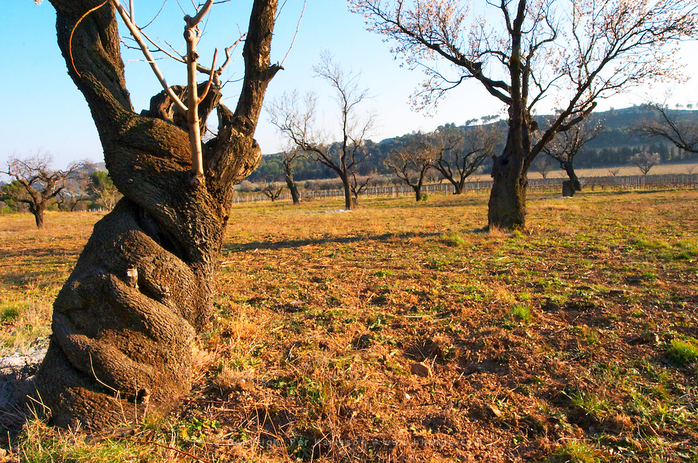 A twisting and twirling old almond tree  at Mas de Gourgonnier, in Les Baux de Provence, Bouche du Rhone, France