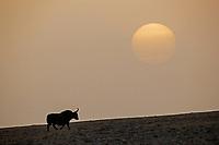 Wild yak, Bos grunniens, Tibetan Plateau, Yushu, Haixi, Quinghai, China