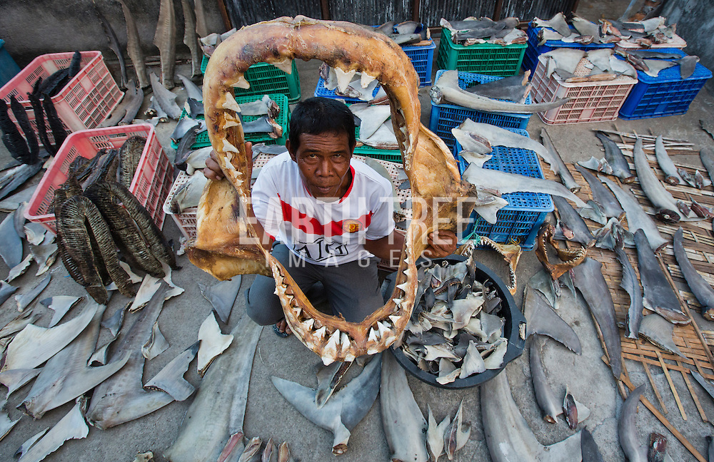 Shark fins, Great white shark jaws, manta ray gills are dried in the afternoon sun, 26th September 2013, Lombok, Indonesia. Photo: Paul Hilton Over 100 million sharks are killed each year for the fin trade. Hong Kong, Singapore and China are the biggest consumers of shark fin globally. Indonesia is the biggest exported of shark fins annually. Photo: Paul Hilton for Earth Tree Images