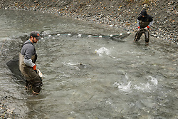 David Campbell (left) and Dylan Burbank, fish technicians for the non-profit Northern Southeast Regional Aquaculture Association, Inc. (NSRAA), use a large net to catch chum salmon in a man-made spawning channel near Herman Creek located near Haines, Alaska. <br /> <br /> NSRAA built the channel to collect wild broodstock by harvesting spawning female and male salmon for their eggs and milt to artificially spawn wild chum salmon. The eggs are fertilized with milt and placed in stream-side incubation boxes on Herman Creek and the Klehini River. In 2014, 2.4 million eggs were seeded into these incubation boxes. The 2013 incubation box survival rate was 90%. Without the artificial spawning, natural survival is said to be only 10%.<br /> <br /> Based in Sitka, Alaska, NSRAA conducts salmon enhancement projects in northern southeast Alaska. It is funded through a salmon enhancement tax (of three percent) and cost-recovery income. NSRAA also produces sockeye, chinook, and coho salmon.<br /> <br /> Male chum salmon return to Herman Creek to spawn with female chum salmon during the fall chum salmon run. The chum salmon return to freshwater Herman Creek, tributary of the Klehini River after living three to five years in the saltwater ocean. Spawning only once, chum salmon die approximately two weeks after they spawn. <br /> <br /> Chilkat River and Klehini River chum salmon are the primary food source for one of the largest gatherings of bald eagles in the world. Each fall, bald eagles congregate in the Alaska Chilkat Bald Eagle Preserve.