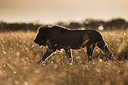 A male lion silhouette in tall grass (Panthera leo), Masai Mara, Kenya