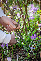 Pruning roses in late winter or early spring - cutting out old or diseased wood