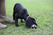 Pip the 4-month-old working cocker spaniel puppy playing with a ball