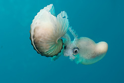 Rarely seen by divers, this female Muddy Argonaut, a.k.a. Paper Nautilus, Argonuta hians, appears ready to abandon her egg-laden shell. This specimen had apparently been attacked and injured by a predator, which may have prompted the evacuation. While superficially resembling a nautilus, Argonauts are actually a type of pelagic octopus. Only females produce a shell, which also serves as an egg case. Males are much smaller, and seen even less often than females. Mergui Archipelago, Burma, Andaman Sea, Indian Ocean
