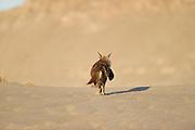 Brown hyena (Parahyaena brunnea oder Hyaena brunnea), with a kill. It is a fur seal pup, (Arctocephalus pusillus) Tsau-ǁKhaeb-(Sperrgebiet)-Nationalpark, Namibia | Schabrackenhyäne (Parahyaena brunnea oder Hyaena brunnea) mit einer erbeuteten jungen Robbe. Die Robbe ist ein Südafrikanische Seebär (Arctocephalus pusillus) und einen Tag alt.