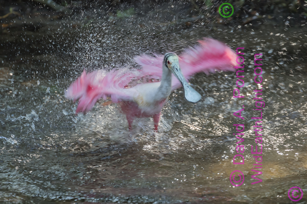 Roseate spoonbill taking a splashy bath in wetland pool, FL, © David A. Ponton
