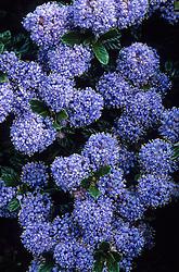 Ceanothus 'Blue Mound' - Californian lilac