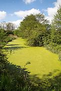 Green pond weed algae growing on stream surface, River Tang, Boyton, Suffolk, England, UK