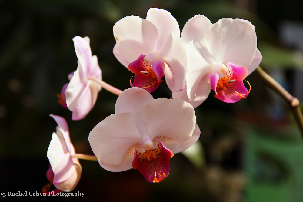 """Orchid Cascade""<br /> <br /> Flowers by Rachel Cohen"