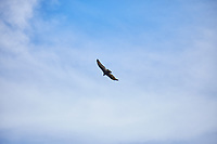 Turkey Vulture. Image taken with a Fuji X-T1 camera and 55-200 mm OIS lens.