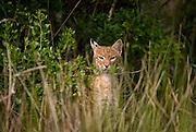 Bobcat at marsh's edge beneath eagle nest, during stalking of raccoon family.