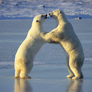 Polar Bear (Ursus maritimus) playing on frozen ice in Churchill, Manitoba, Canada.