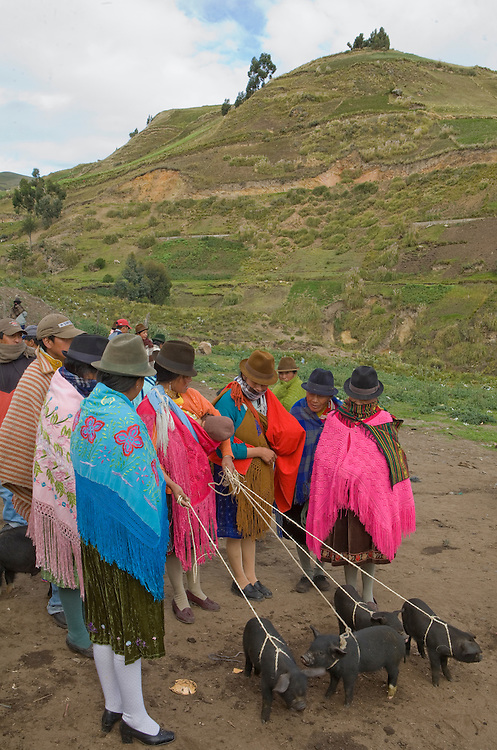South America, Ecuador, woman in traditional shawls with pigs at weekly market which draws indigenous people from surrounding villages