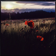 Red poppy, backlit, captured on Fujichrome VELVIA 50 film using a Hasselblad 500 cm camera.