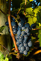 Merlot grapes during the wine harvest at Delaire Graff Wine Estate atop Helshoogte Pass, near Stellenbosch, Cape Winelands (near Cape Town), South Africa.