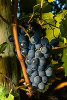 Merlot grapes during the wine harvest at Delaire Graff Wine Estate atop Helshoogte Pass, near Stellenbosch, Cape Winelands (near Cape Town), South Africa.
