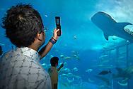 JPN, Japan: Okinawa Churaumi Aquarium, Besucher fotografieren mit ihren Handys einen Walhai (Rhincodon typus), den groessten Fisch der Welt, Ocean Expa Park, Okinawa, Okinawa | JPN, Japan: Okinawa Churaumi Aquarium, visitors taking a photo of a Whale Shark (Rhincodon typus), the largest fish wiht a mobile phone, Ocean Expo Park, Okinawa, Okinawa |