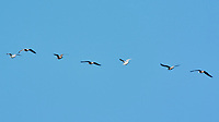 Ring-billed Gull (Larus delawarensis). Image taken with a Nikon N1V3 camera and 70-300 mm VR lens.