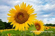 63801-11017 Sunflowers in field Jasper Co.  IL