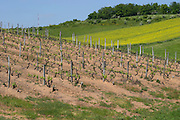 vineyard on the plateau above cote rotie rhone france