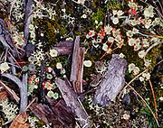 British soldier lichens on forest floor, Muncho Lake Provincial Park, northern British Columbia, Canada.