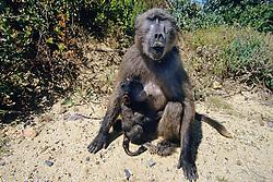 Baby Baboon Suckeling On Mother