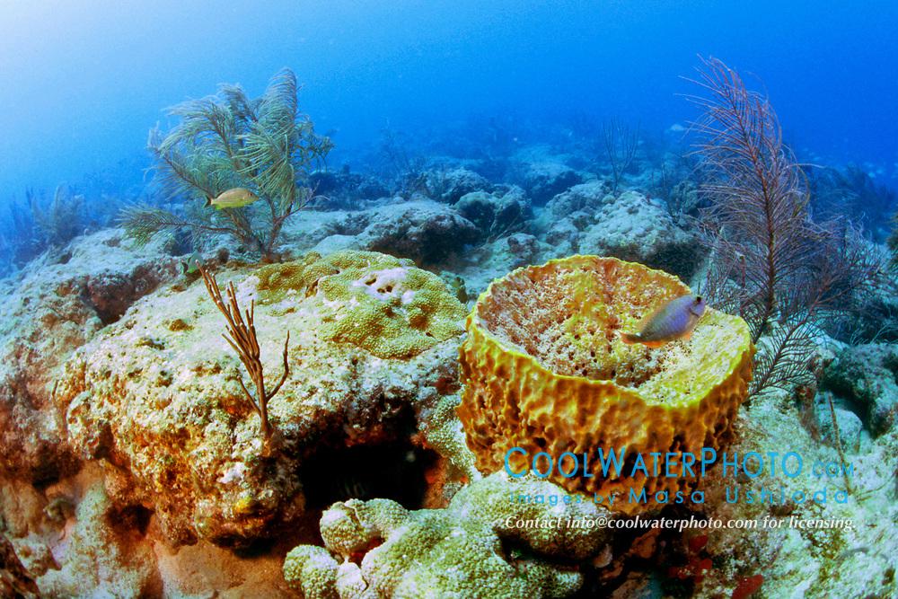 giant barrel sponge, Xestospongia muta, and gorgonians, Captain Keith's Reef, Key Biscayne, Miami, Florida, Atlantic Ocean