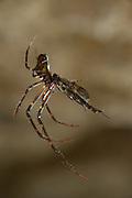 Spider caught a female Fungus gnats (Arachnocampa luminosa). Glowworm cave near Waitomo Cave, New Zealand. Close to Te Kuiti. The  larvae of the fungus gnats of the species Arachnocampa luminosa are bioluminescent and feed on the light-attracted insects that get entagled in their sticky silk threads. | Die Pilzmücken der Art Arachnocampa luminosa sind keine guten Flieger. Ihr nur eine knappe Woche dauerndes, geflügeltes Erwachsenenstadium dient lediglich der Paarung und Eiablage. In dieser Lebensphase laufen die in Höhlen und unter windgeschützten Überhängen lebenden Tiere Gefahr, zur Beute von Spinnen zu werden. Zuvor war die Mücke für die Dauer von bis zu einem Jahr als Made selbst in der Lage, mit Hilfe von selbstgesponnenen Seidenfäden Jagd auf fliegende Insekten zu machen.<br /> Arachnocampa luminosa ist eine von etwa 3000 Pilzmückenarten weltweit und lebt an feuchten, dunklen Stellen (Höhlen und Überhänge) in Neuseeland. Die Waitomo Cave und Höhelsysteme nahe der Ortschaft Te Kuiti sind bekannt für die leuchtenden Larven.