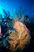 UNDERWATER MARINE LIFE WEST PACIFIC, CORAL; Sea fan attached to coral reef Melitheia sp.