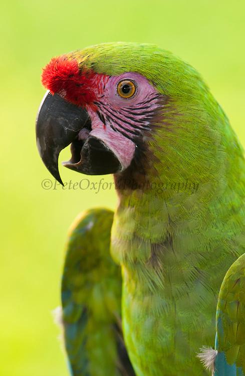 Military macaw (Ara militaris) CAPTIVE<br /> Amazon Rain Forest. ECUADOR. South America<br /> RANGE: w Mexico, tropical Colombia to nw Venezuela, Ecuador, Peru, tropical Bolivia and extreme nw Argentina.<br /> ENDANGERED SPECIES