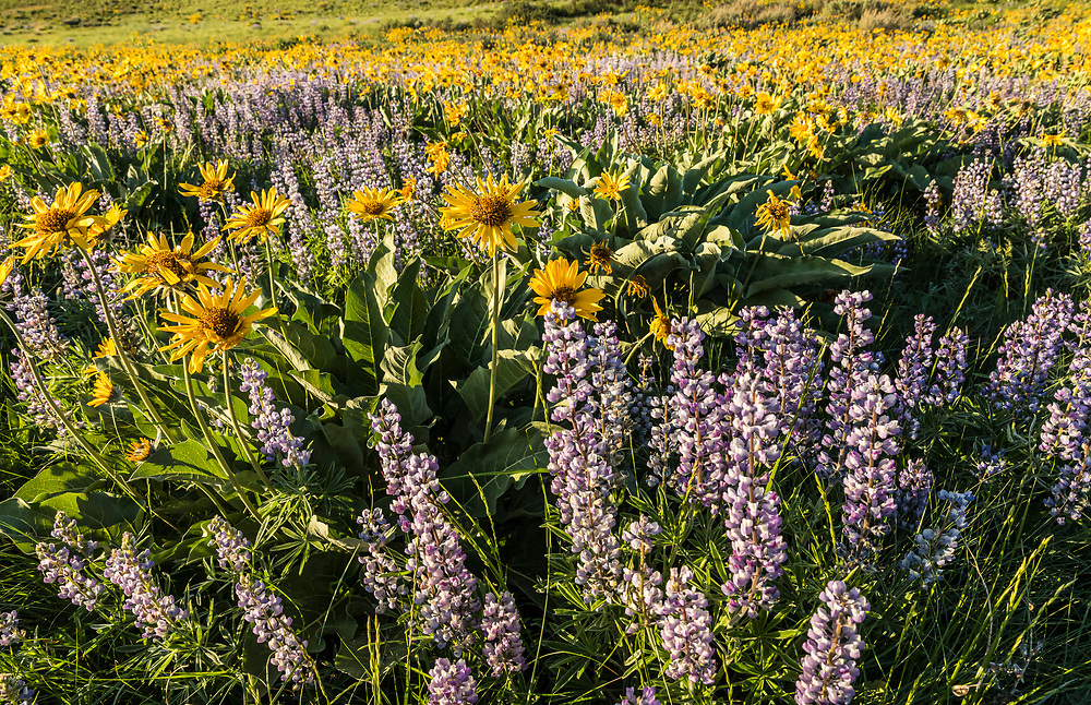 Balsamroot and Lupine covering the hillside of Lewis Butte outside Winthrop, Washington in the Methow Valley.