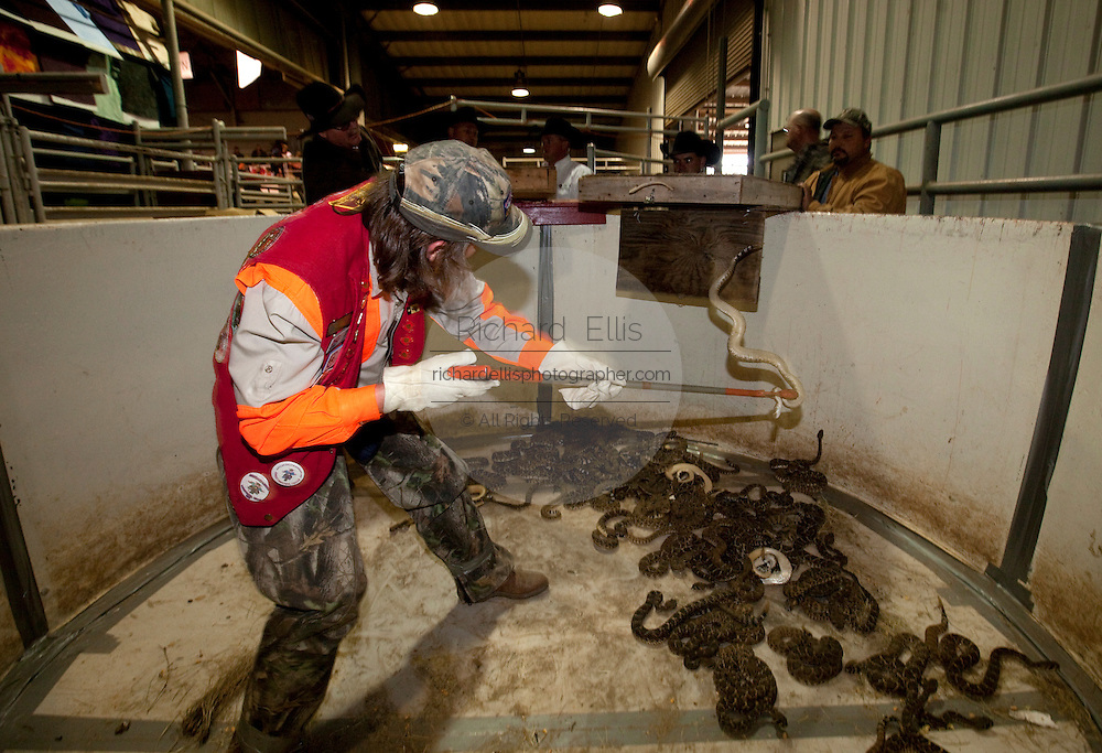 SWEETWATER, TX - MARCH 14: A Jaycees volunteer snake handler empties a box filled with western diamondback rattlersnakes brought in by hunters during the 51st Annual Sweetwater Texas Rattlesnake Round-Up, March 14, 2009 in Sweetwater, Texas. Approximately 24,000 pounds of rattlesnakes will be collected, milked for venom and the meat served to support charity. (Photo by Richard Ellis)