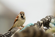 Male house sparrow perched on a lobster pot in a Scottish harbour, against a white background.