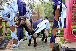 © Licensed to London News Pictures. 07/04/2019. London, UK. Hamish, representing Oxford wins the Oxford v Cambridge Goat Race. <br /> Goats compete during the Oxford and Cambridge Goat Race at Spitalfields City Farm, Bethnal Green in East London. The annual fundraising event, which takes place at the same time as the Oxford and Cambridge boat race, where two goats, one named 'Oxford', the other 'Cambridge' to be crowned King Billy. Photo credit: Dinendra Haria/LNP