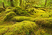 Moss covered rainforest  on Haida Gwaii, Naikoon Provincial Park, British Columbia, Canada