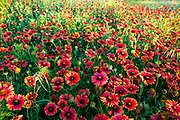 Red firewheel blankets a Texas Hill Country meadow, Castell, Texas